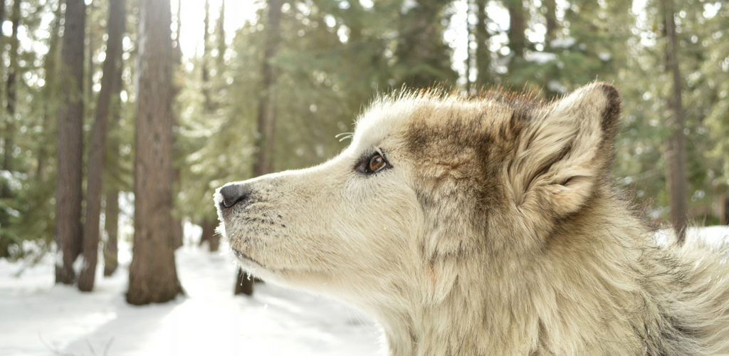 real wolf
